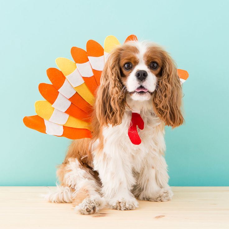 Make a turkey Halloween costume for your dog.