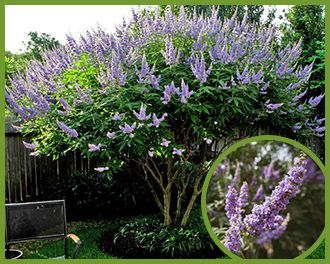 Vitex-4.png  Vitex This stunning multi-trunk tree is a favorite for its unique purple blooms on long spikes that form at every growth tip during the late spring and into the summer. The flowering spikes on the Vitex (agnus-castus) are a favorite for our pollinating friends like hummingbirds and butterflies. In addition to the stunning flowers, the trunk of the tree is always overlooked which is unfortunate because the twisted and tangled growth pattern gives this tree a statuesque appearance…