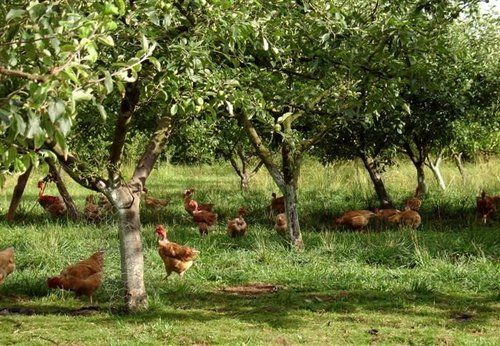 great to have chooks in the orchard, they eat up the pests, have green pick, lay beautiful eggs.