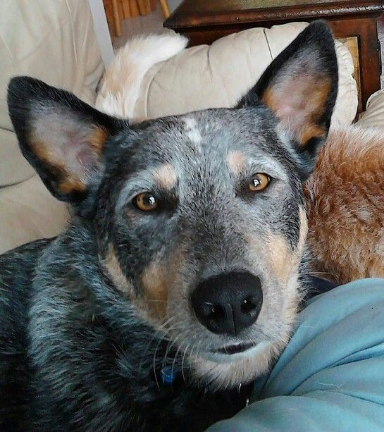 Bearded blue heeler (Australian Cattle Dog).  Has an Amish look, don't you think?