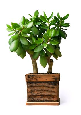 Fact Friday! Display a leafy green plant in the Southeast of your living room or office. The healthier the plant, the better. Choose plants that have thick round leaves like a jade plant. The rounder the leave, the more auspicious the plants are said to be! It is advisable to use a real plant rather than a silk plant.