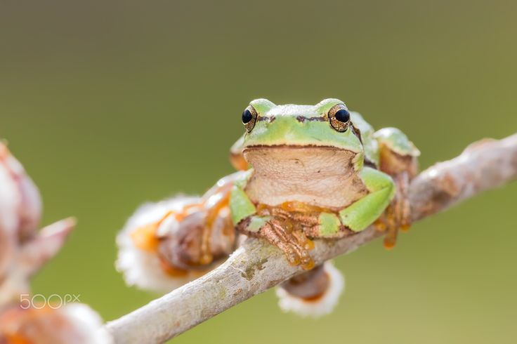 Insert spring-themed title here - Oriental tree frog (Hyla orientalis) chilling on catkins