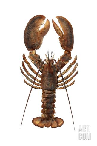 American Lobster, From a Specimen in Eastport, Maine, 1880s Photographic Print at Art.com