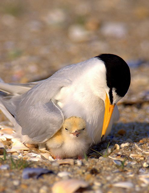 Least Tern with chick. Terns are birds that are normally found near the sea, rivers or wetlands & typically breed in noisy colonies and lay their eggs on bare ground with little or no nest material. However, the marsh terns construct floating nests from the vegetation in their wetland habitats, and a few species build simple nests in trees, on cliffs or in crevices.  The sexes are identical in appearance, but young birds are readily distinguishable from adults.