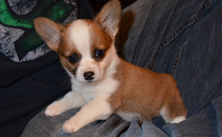 1000 images about corgi chihuahua mix puppies on pinterest chihuahuas corgi mix puppies and pets. Black Bedroom Furniture Sets. Home Design Ideas
