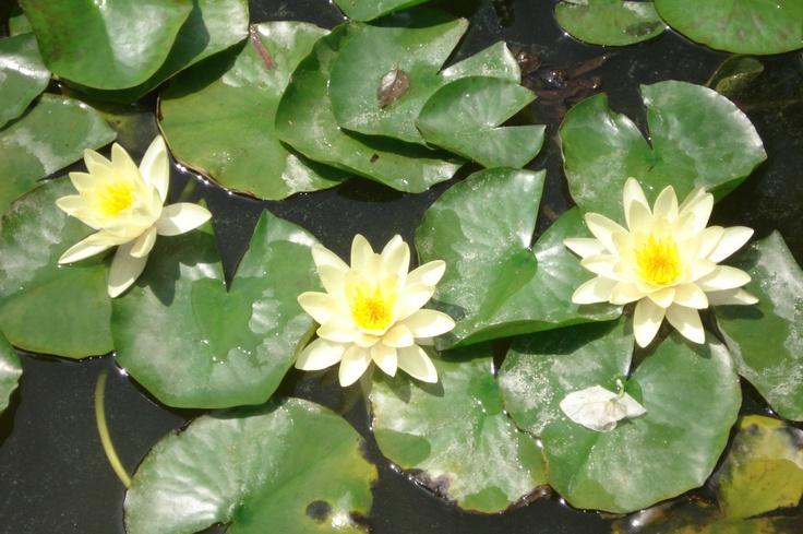 Flor d'aigua
