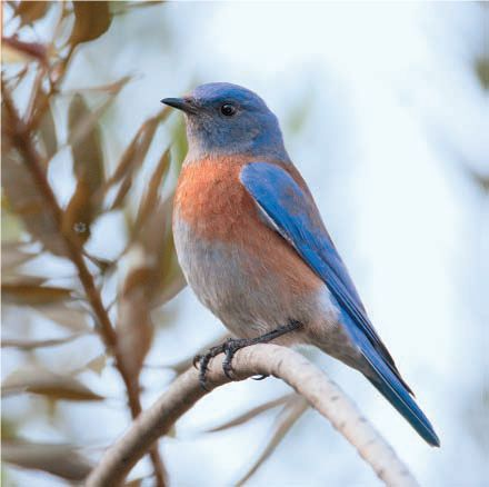 Bluebirds are facing a lot of competition for nesting sites. Building a Bluebird birdhouse could help this competition, and increase the population. #buildabirdhouse