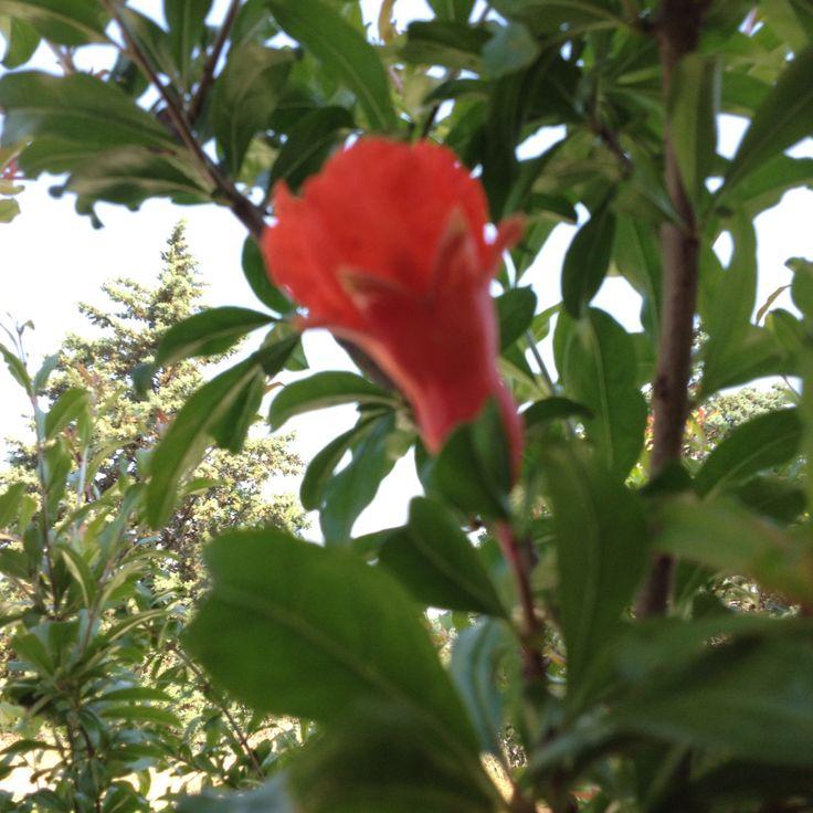 Fiore dì Melograno  .