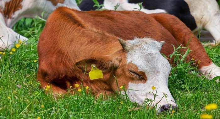 رؤية البقرة في المنام للعزباء والمتزوجة Cow Dairy Cattle Breeds Of Cows