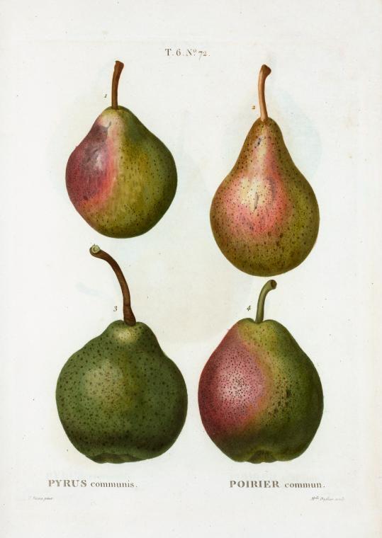 """design-is-fine: """" Pierre Joseph Redouté, varities of pears, Pyrus communis, 1801-19. From: Traité des arbres par Duhamel, France. NYPL. Pear Porn. """""""