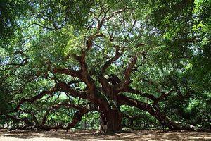 The Angel Oak Tree, st john is, sc