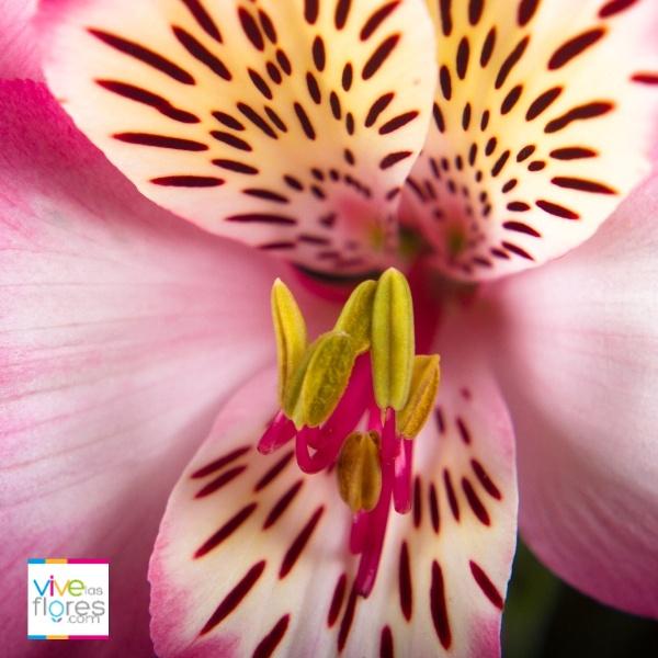 Los colores disponibles de alstroemeria en vivelasflores.com, reflejan lo que la naturaleza nos ha regalado. Disfrútalos...