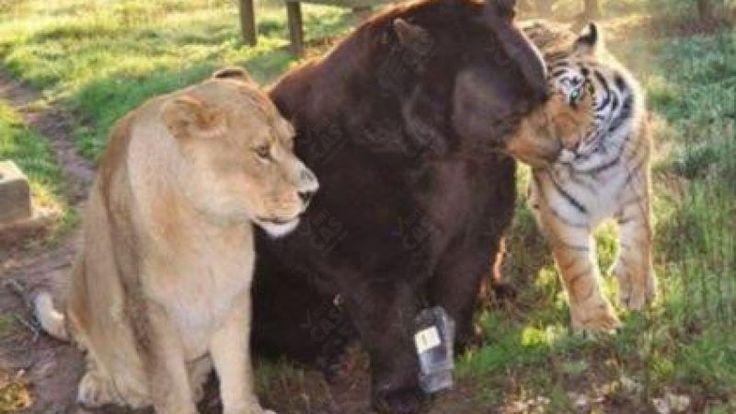 Tiger, lev a medveď sú už desať rokov verní