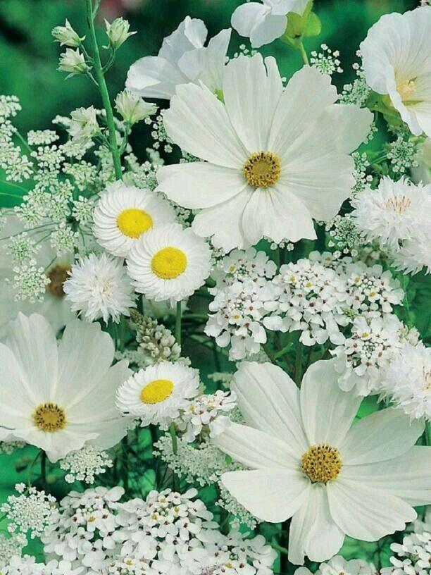 White flowers: Cosmos, Baby's breath, Daisy?