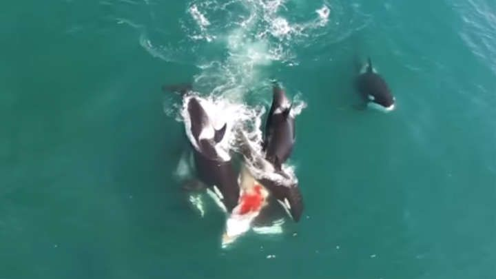 This incredible rare footage shows the moment a group of Orcas hunt down and kill a lone Minke Whale. We see the Orcas chasing down and surrounding the Min