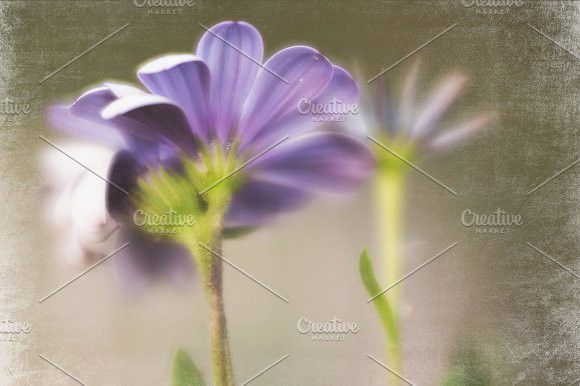 01 African Daisy Photo/Template. Creative Card Templates