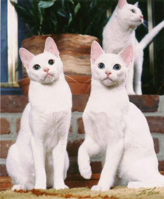 Russian White, Black and Tabby cats