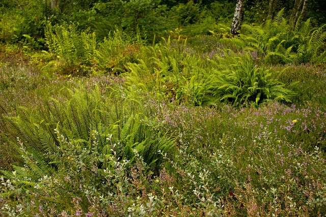 bog ashpodel, heather, ferns (photo from Rhone Street Gardens), Jac P. Thijsse Park