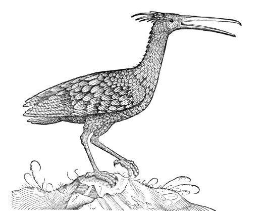 """Grabado de Ibis eremita (Corvus sylvaticus) del """"Libro de las aves"""" de Conrad GESNER (1555). La costumbre de criar pollos de ibis eremita parece que era común, por lo que abundan en las ilustraciones, según algunos autores, animales con la cara emplumada y escasa cresta características de los jóvenes."""