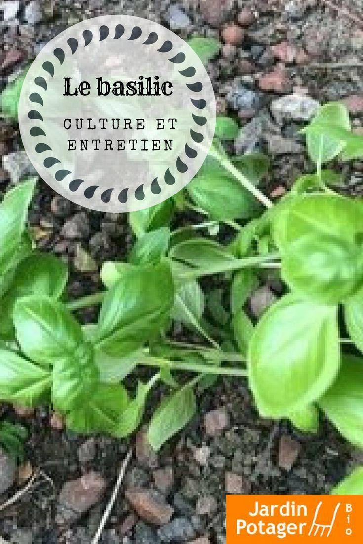 Planter le basilic culture et conseils d'entretien