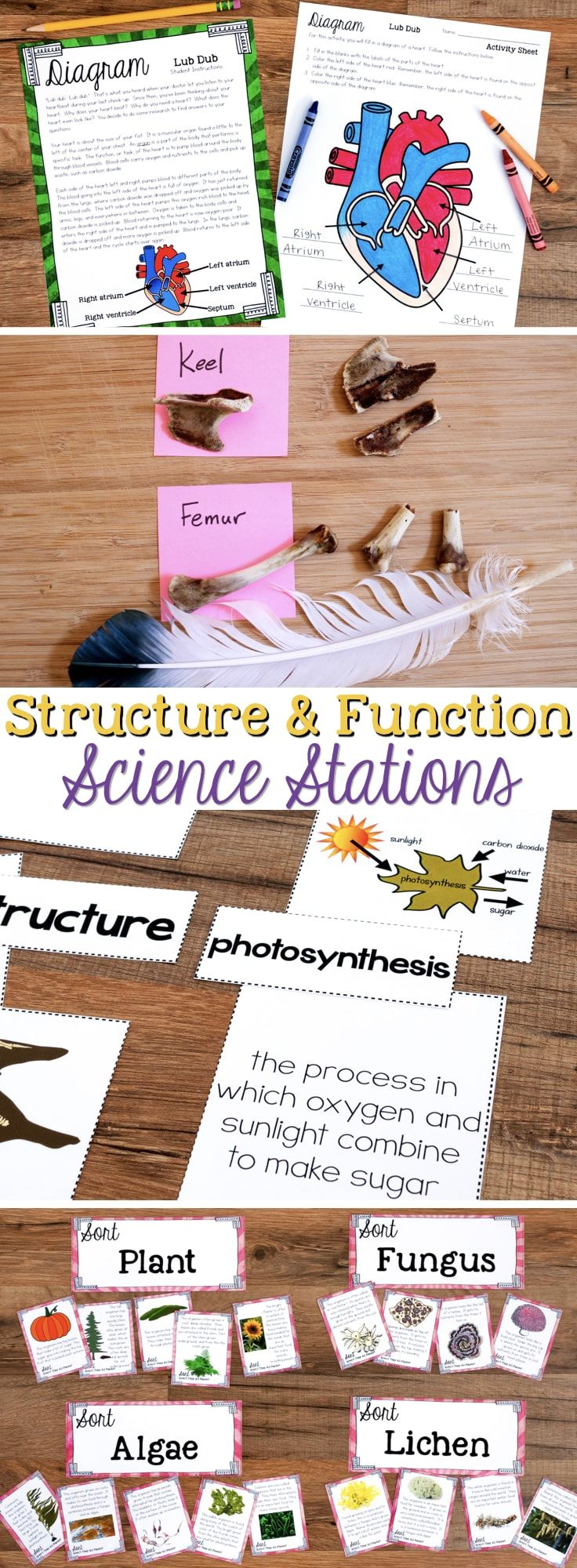 Structure and Function Science Stations cover NGSS 4-LS1.A and focuses on how organisms live, behave, reproduce, and grow. Included are concepts such structure and function of flowers, belly buttons, muscular and skeletal systems, bird structures to support flight, the human heart, trees, animals in arctic areas, leaves, and other organisms.