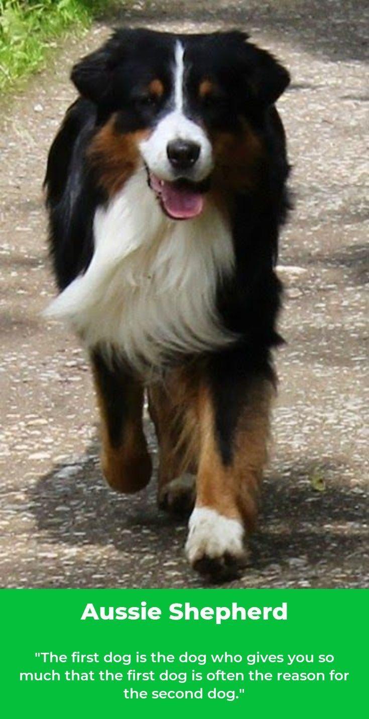 Australian Shepherd Blue Merle Australianshepherdsofinsta Australianshepherdpuppy Australian Shepherd Dogs Aussie Dogs Australian Shepherd