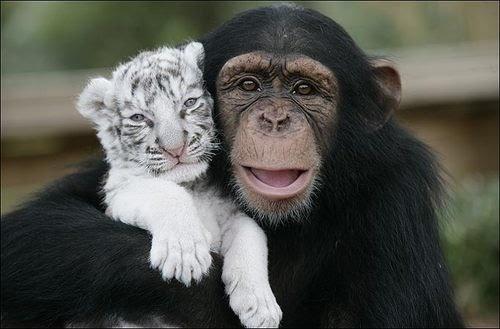 Scimpanzé e Tigre #scimmie #somiglianze #uomo #animali #natura #comportamenti #amicizia