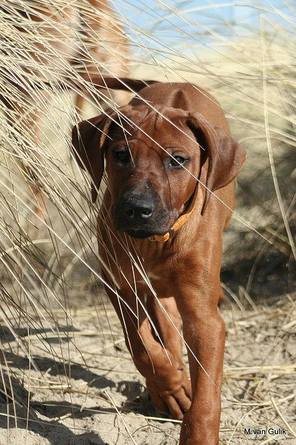 "Rhodesian Ridgeback - I would name him/her Hintza after the dog in the movie ""A Far Off Place."""