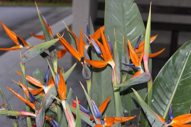 Strelizien Blüten