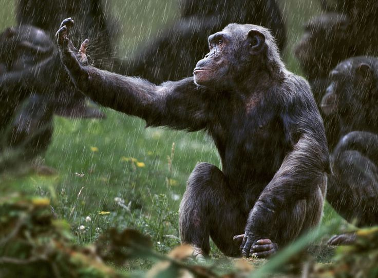 A chimpanzee at Monkey World ape rescue centre in Wareham, Dorset, UK. From the Spirit of the Wild outdoor Exhibition in St Andrew Square, Edinburgh, as part of the 2010 Edinburgh Science Festival. Exhibition to run till 16 May. Photograph: Steve Bloom Photographer: Steve Bloom