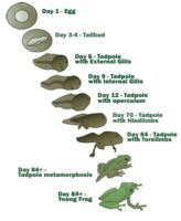 how to take care of tadpoles