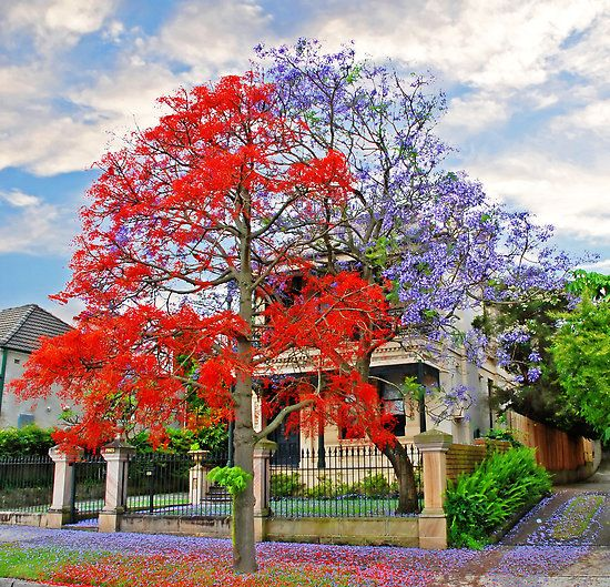 Gotta get me some of these trees...     Illawarra Flame Tree & Jacaranda side by side. The contrast... Wow.