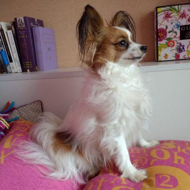 Сторожевая подушечная #собака #папийон #papillon #papillondog