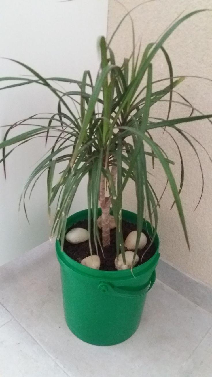 """Dragoeiro de Madagascar - """"Dracaena marginata"""". Planta em balde transformado. Pedras de praia."""