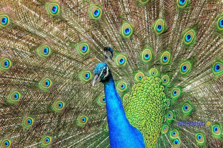 https://flic.kr/p/FfhWYf | Birds in Greece |   #πουλιά #πτηνά #bird #birds #life #wild #wetland #Greece #Flight #flying #Beautiful #Nature #world #υγροβιότοπος #πετάω #φύση #animals #Greece #Ελλάδα #Macedonia #Photography #George  #eyes #@ #papaki #BirdsinGreece  #visitgreece #greekphotographers #europeanphotography #naturephotography #sea  #θάλασσα #water #feather #φτερό #παγώνι  #παγόνι #ουρά #βεντάλια  #Phasianidae #peacock #peahen #female #θυληκό