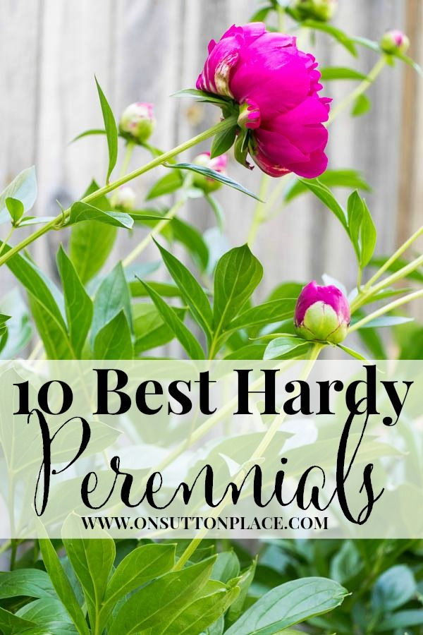 Best Hardy Perennials   Tips from a DIY Gardener   On Sutton Place
