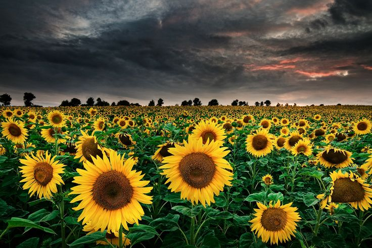 Michael Breitung, Washington States, Storms Clouds, May Flower, Sunflowers Fields, Flower Fields, Nature Beautiful, Flower Photography, Landscapes Photography