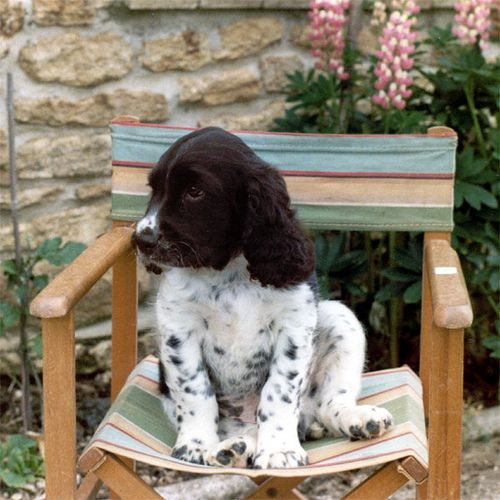 Springer spaniel puppy. i want one just like this, with the cute freckles all over it