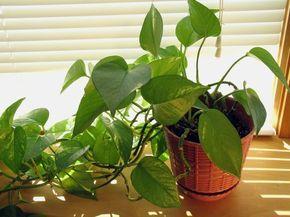 Pothos - plante facile d'intérieur mi ombre - très bonne dépolluante  au Toluène et monoxyde de carbone