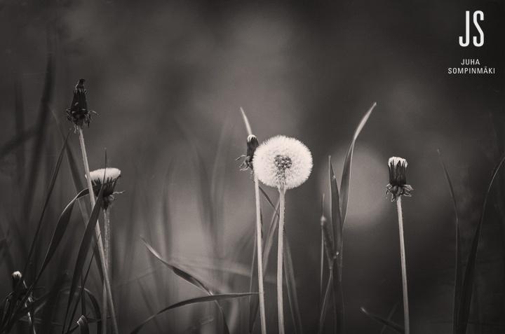 Dandelions equals summer