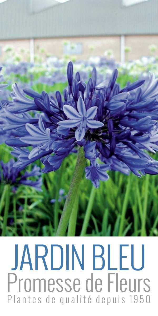 L'Agapanthe (ou Agapanthus) Midnight Blue fleurit, de juillet à août. Elle offre de belles ombelles globulaires de 15cm de diamètre. Les fleurs, en forme de trompettes sont presque noires en bouton, bleu nuit en s'épanouissant.  A retrouver ici: http://www.promessedefleurs.com/bulbes-d-ete/bulbes-d-ete-par-variete/agapanthes/agapanthe-ou-agapanthus-midnight-blue-p-5309.html