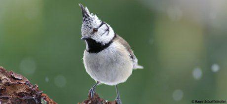 Tipps für bessere Gartenvögel-Fotografie - Haubenmeise