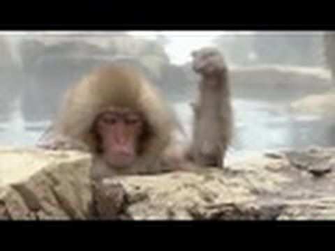 JAPAN     MONKEYS   IN    HOT    SPRING