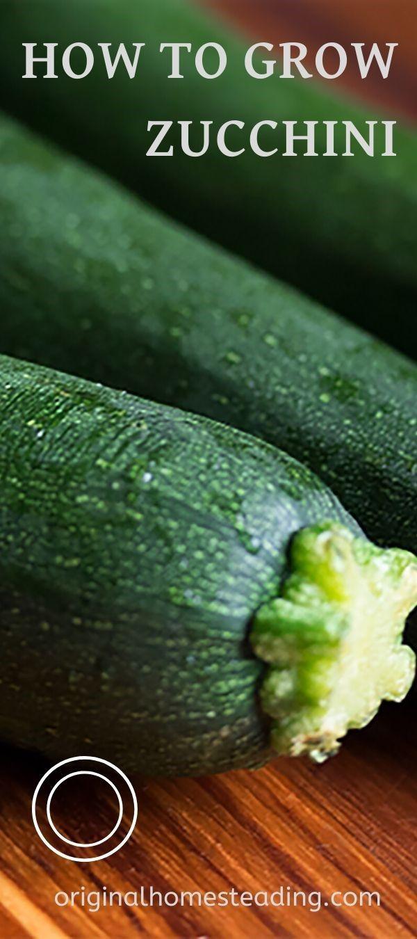 How To Grow Zucchini Growing Zucchini Zucchini Growing Backyard garden how to zucchini