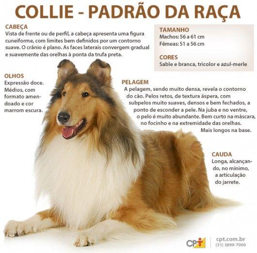 Padrão da raça Collie (Rough)