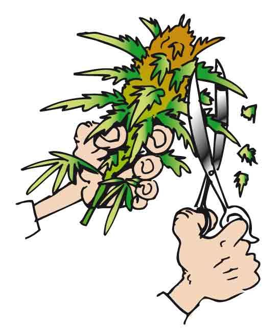 Guía de Cultivo de Marihuana - Blog about cannabis seeds