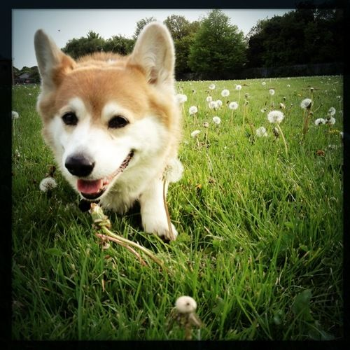 Sian and the dandelion clocks #cute #corgi #pembrokewelshcorgi #cardiff #pets #dogs #corgistagram #welshcorgi