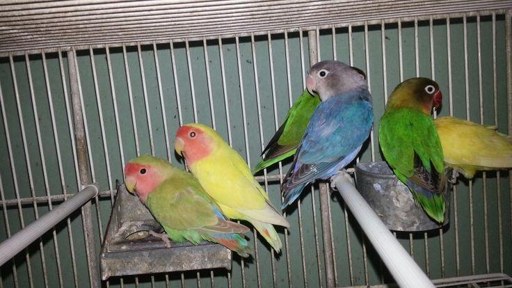 Agapornis diferentes colores http://mapachepajareriayacuario.com Tel (011) 45553273