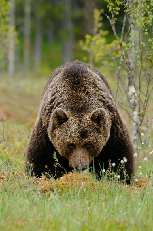 Brown bear Photo from Edwin Kats Photography.