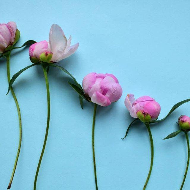 Участвую в #insta_фотопрокачка от @natalikurova. Тема: flatlay в стиле POP-ART. #insta_фотопрокачка_попарт.    Думала поиграть еще с клубникой, но, увидев, как мило смотрятся розовые пионы на голубом фоне, решила сделать такое фото. Очень нежно.    #пион #пионы #цветы #макрофото #макросъемка #макросъёмка #флетлей #флэтлей  #попарт #popart #натюрморт #stilllife #peony #peonies #peonys #peonyseason #nikond5300 #nikonmacro #macro #macrophoto #flatlay #macrophotography #геометрия